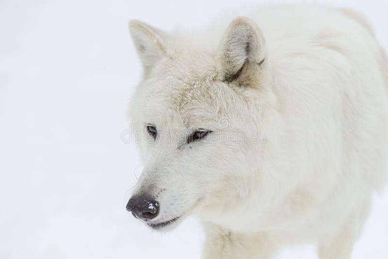 Artic wilk w śniegu obraz royalty free