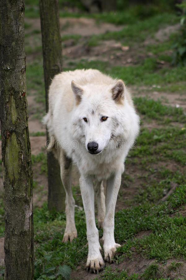 Artic wolf stock images