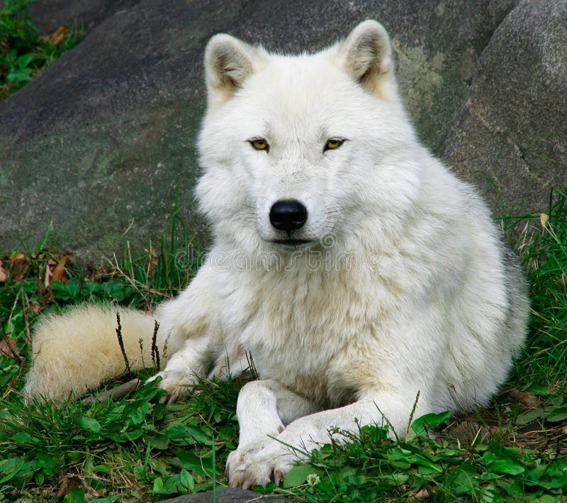artic wolf 2 royaltyfri fotografi
