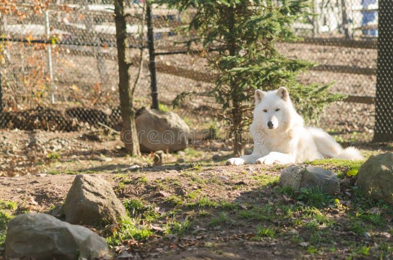 Artic Wolf bij Dierentuin stock afbeeldingen