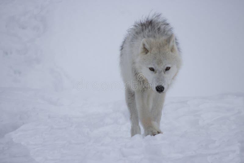 Artic wolf in de sneeuw stock afbeeldingen