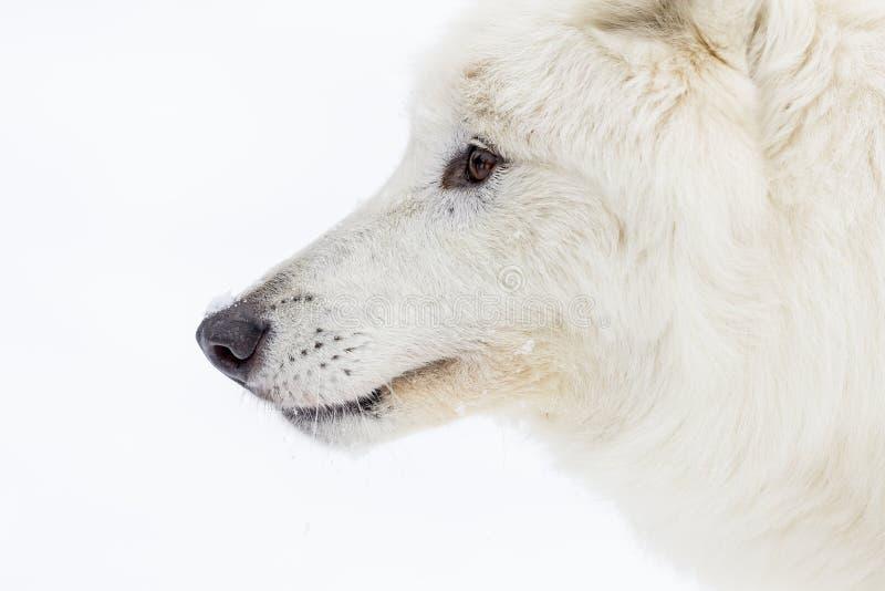 Artic wolf in de sneeuw royalty-vrije stock afbeeldingen