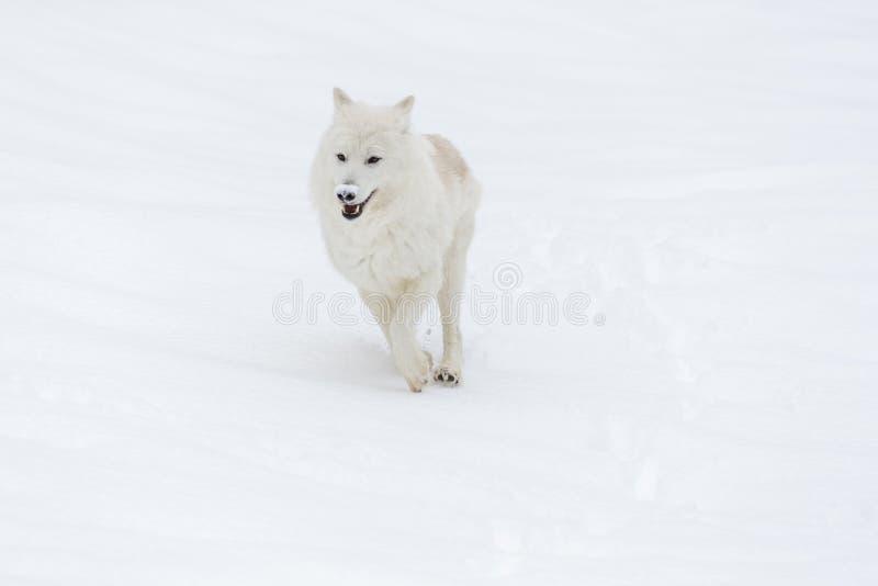 Artic wolf in de sneeuw royalty-vrije stock foto's