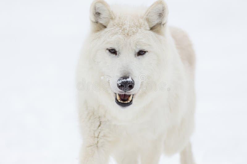 Artic wolf in de sneeuw stock fotografie