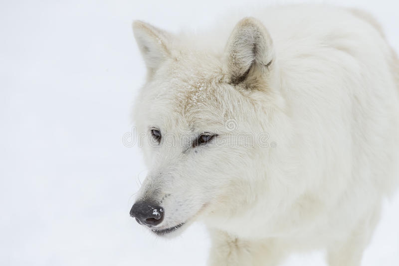 Artic wolf in de sneeuw royalty-vrije stock afbeelding