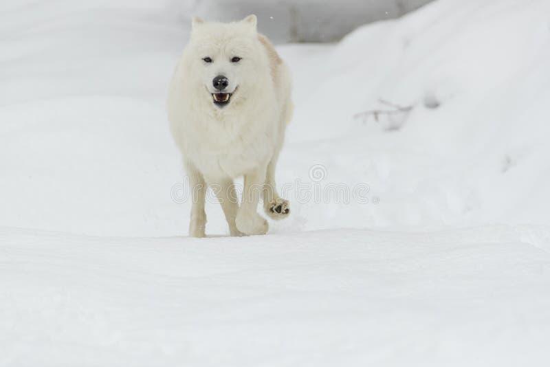 Artic wolf in de sneeuw royalty-vrije stock fotografie