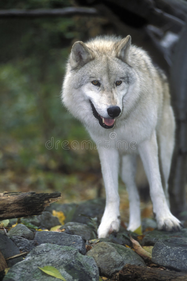 Artic wolf posing stock images