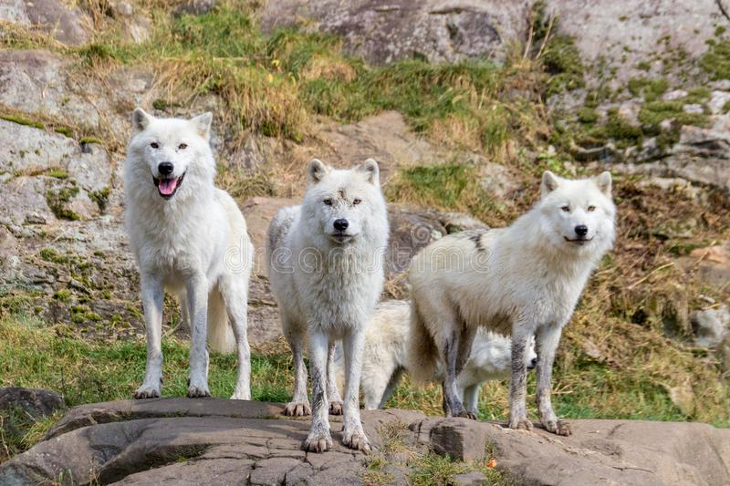 Artic Wolfs in Parc Omega Canada stock foto