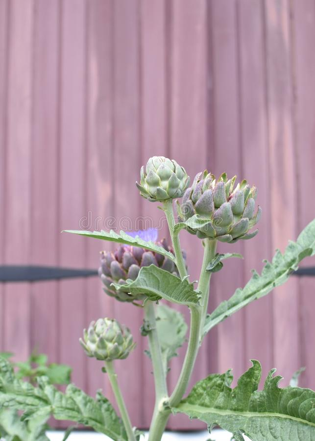 An Artichoke Blooms stock images