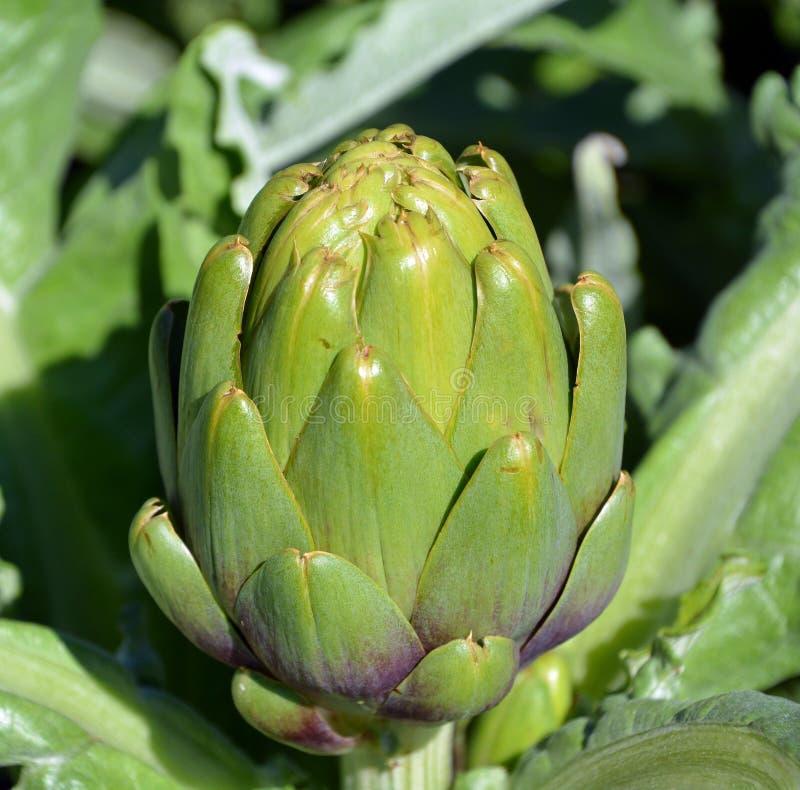 Free Artichoke Cynara Cardunculus Var. Scolymus Royalty Free Stock Image - 156922456