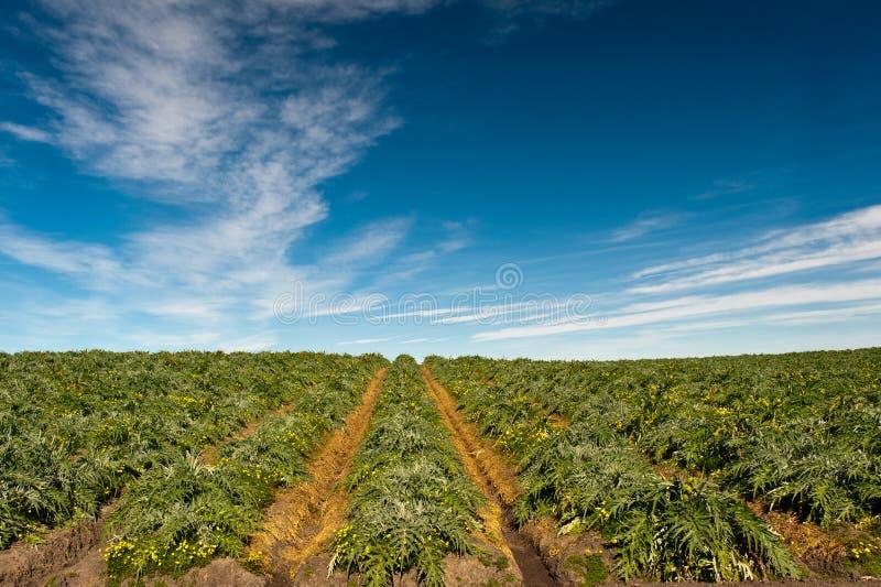 Artichoke Fields stock image