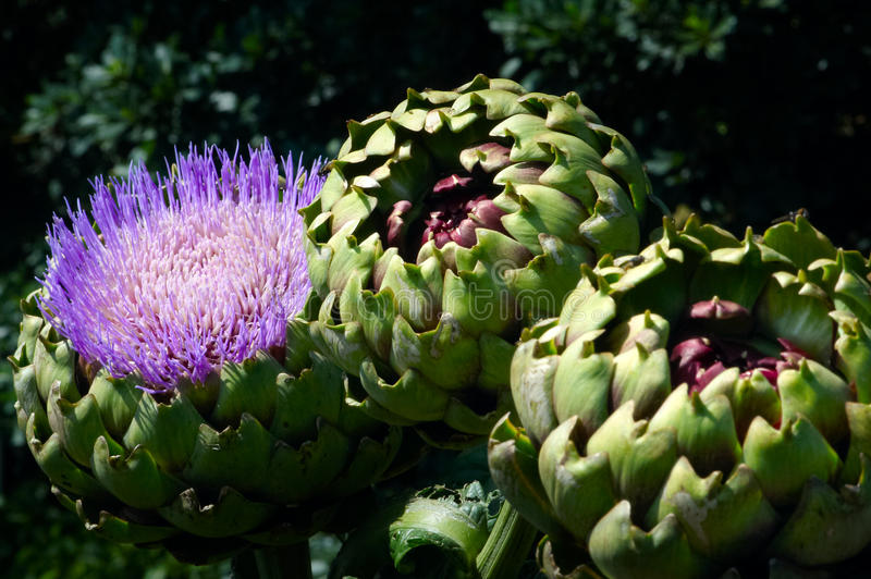 Artichoke Flower And Artichokes Growing Royalty Free Stock Image