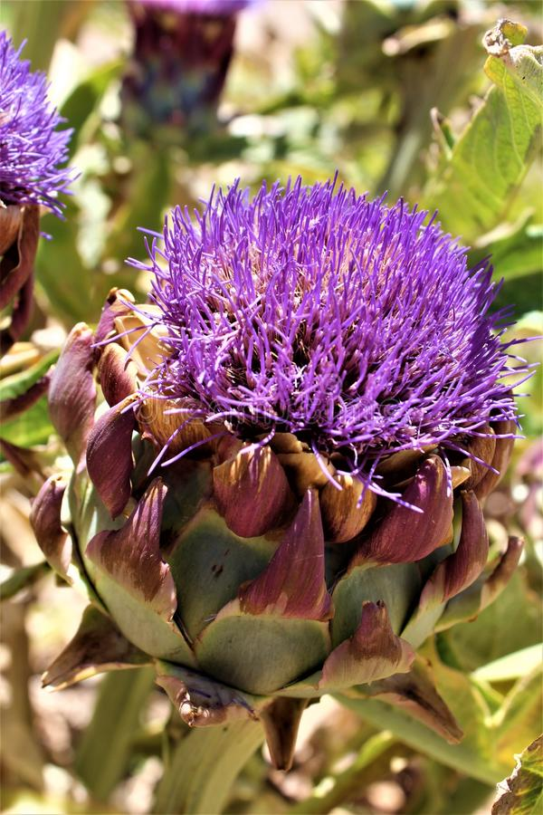 Artichoke head with flower in bloom in the desert, Arizona, United States. Artichoke head plant with a purple flower in bloom during the summer in the desert in stock image