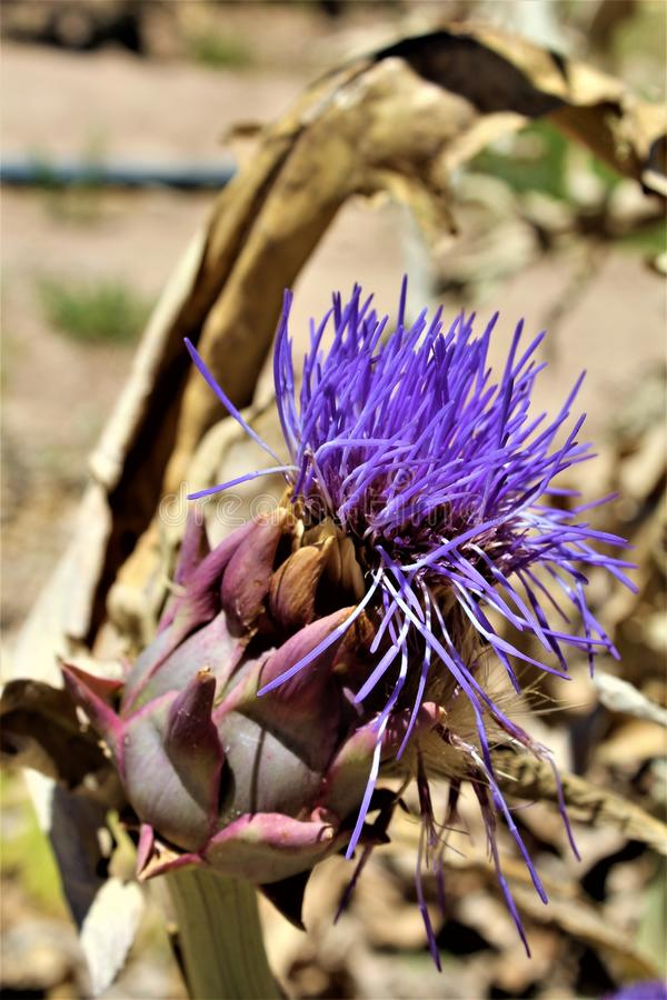 Artichoke head with flower in bloom in the desert, Arizona, United States. Artichoke head plant with a purple flower in bloom during the summer in the desert in royalty free stock photos
