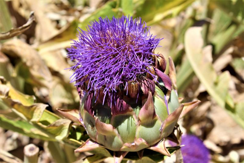 Artichoke head with flower in bloom in the desert, Arizona, United States. Artichoke head plant with a purple flower in bloom during the summer in the desert in stock images