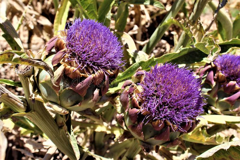 Artichoke heads with flowers in bloom in the desert, Arizona, United States. Artichoke head plant with a purple flowers in bloom during the summer in the desert royalty free stock images