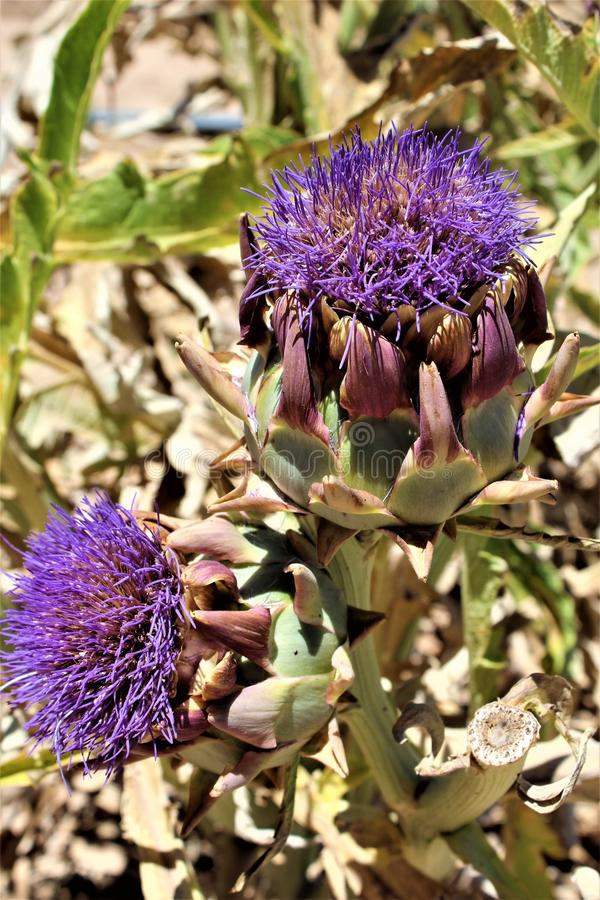 Artichoke heads with flowers in bloom in the desert, Arizona, United States. Artichoke heads plant with a purple flowers in bloom during the summer in the desert stock photo