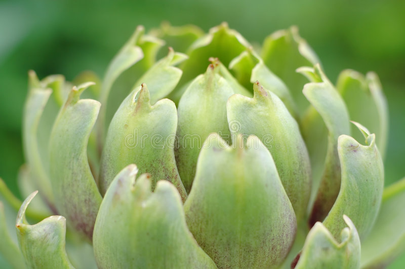 Artichoke inflorescence royalty free stock images