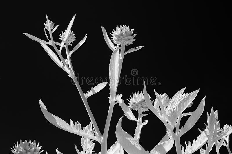 Download Artichoke In Infrared stock photo. Image of nobody, moon - 32382932