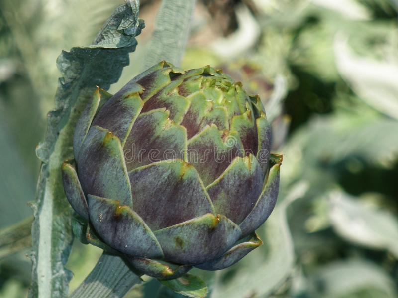 Artichoke plant and flower closeup stock photos