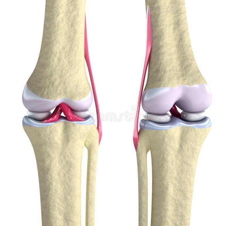 Articulação do joelho com ligamentos e cartilagens ilustração royalty free