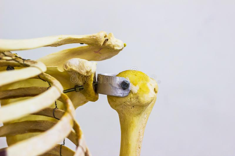 Articulated humerus clavicle and scapula bones showing human left shoulder joint anatomy in white background.  stock photo