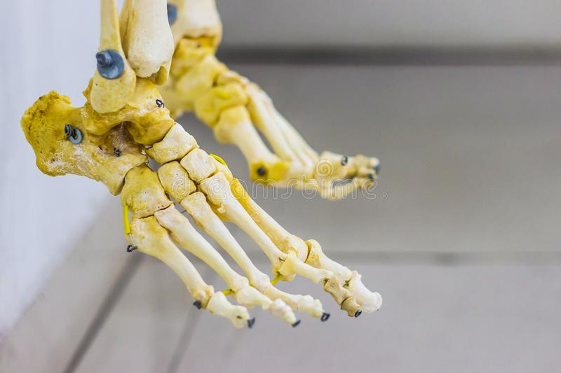 Articulated tarsal metatarsal and phalanges bones showing human foot anatomy in white background.  stock photo