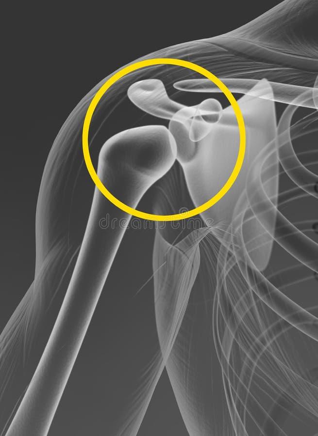 Articulation de l'épaule, médicalement illustration illustration libre de droits