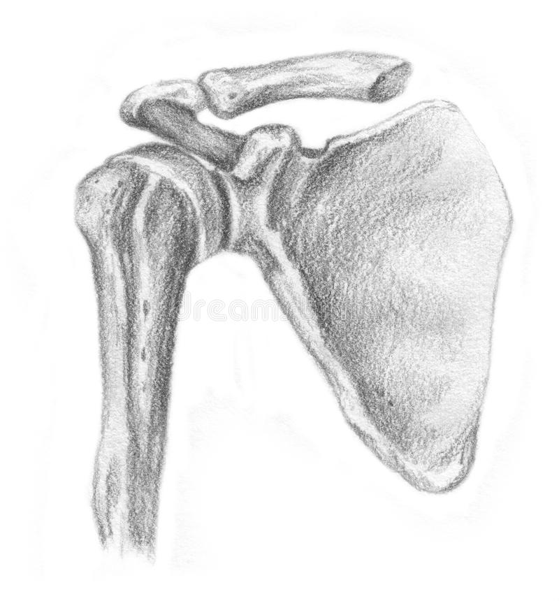 Articulation of the shoulder blade and humerus - s royalty free stock images