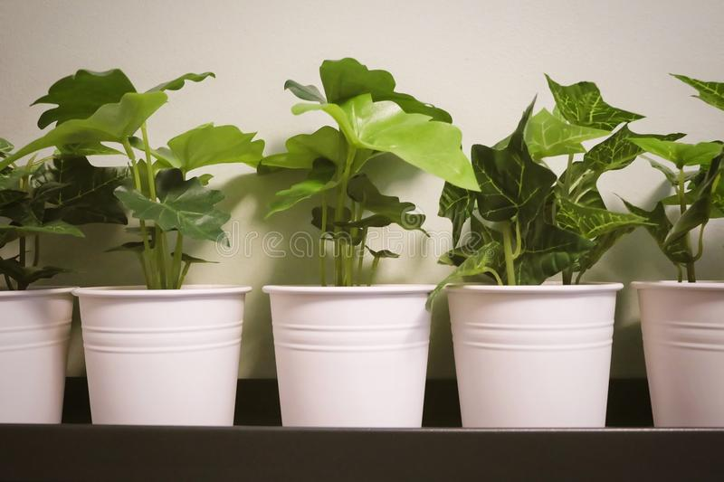 Artificial Alocasia and Golden Pothos Plant in Metal Pot. Artificial Golden Pothos, Hunter`s Robe, Ivy Arum Plants and Alocasia Plants in A Metal Pot for Home stock photo
