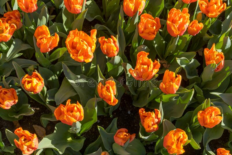Artificial colorful tulips in orange, red, and yellow colors with green leaves.  royalty free stock image