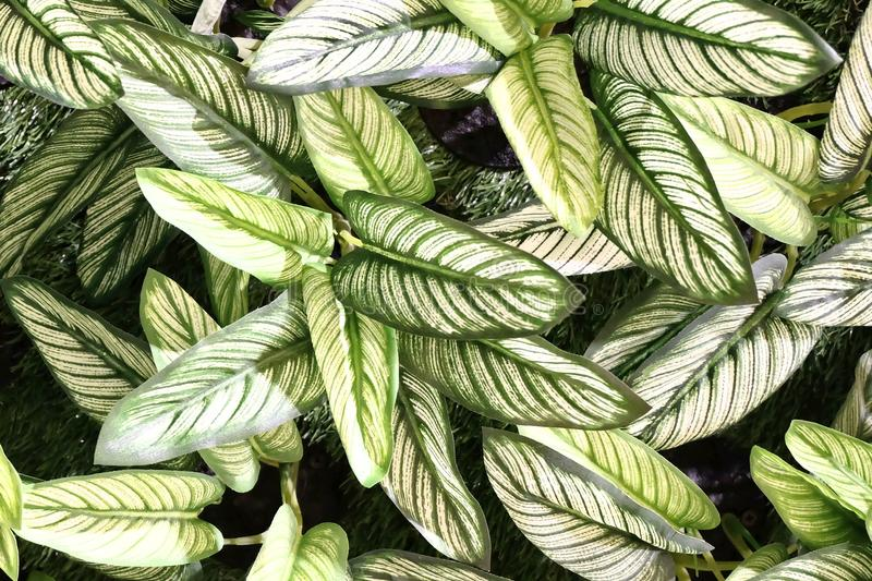 Artificial Dumb Cane Leaves or Dieffenbachia Plants. Background Pattern, Beautiful Artificial Green and White Dieffenbachia or Dumb Cane Plants for Home and stock photo