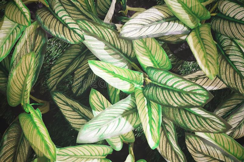 Artificial Dumb Cane Leaves or Dieffenbachia Plants. Background Pattern, Beautiful Artificial Green and White Dieffenbachia or Dumb Cane Plants for Home and royalty free stock photos