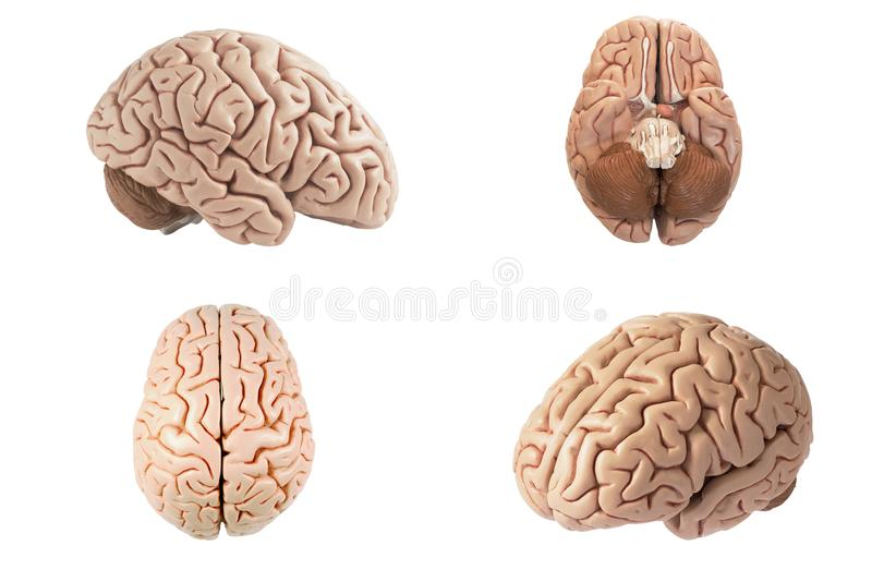 Artificial human brain model indifferent view. Artificial human brain model in four different view including top, side, bottom and oblique view isolated on white stock image
