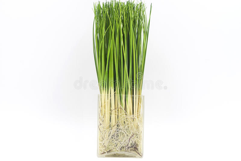 Artificial rice with roots royalty free stock photos