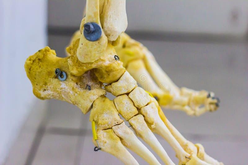 Artikulerad tarsalmetatarsal och phalangesben som visar mänsklig anatomi för ankelskarv i vit bakgrund arkivfoto