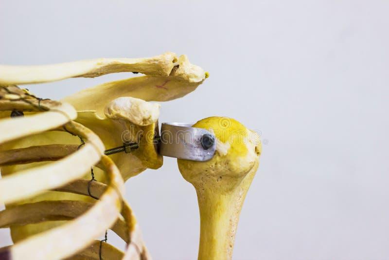 Artikulerade humerusnyckelben- och skulderbladben som visar människan, lämnade anatomi för skuldraskarven i vit bakgrund arkivfoto