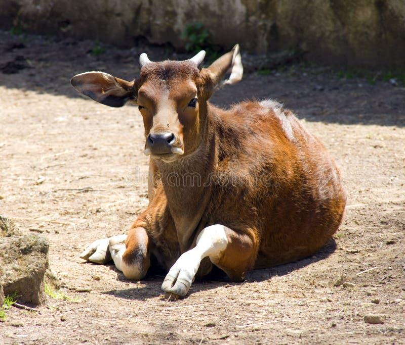 Artiodactyl Bovid do ruminante do banteng de Bull imagens de stock
