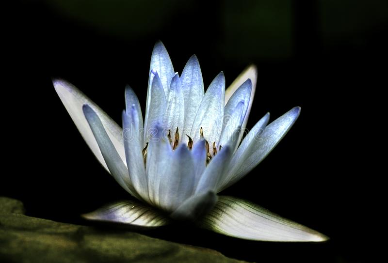 Artistic blue lavender water lily bloom against rock. Artistic blue lavender water lily bloom against rock ledge on black background royalty free stock images
