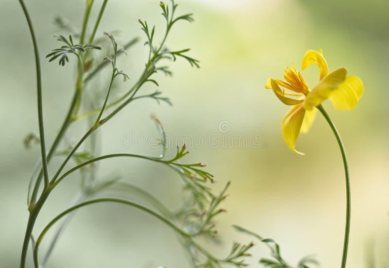 Artistic California golden poppy flower stock photo