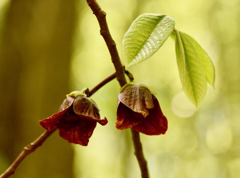 Artistic image of pawpaw flowers and leaves royalty free stock photo