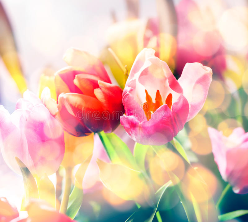 Artistic faded background of spring tulips. Artistic faded background of colourful spring tulips with a blur effect for a dreamy botanical backdrop in square royalty free stock photos