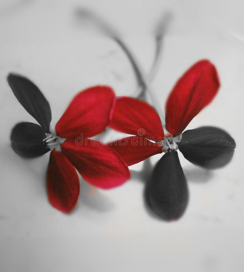 An artistic image of a beautiful flowers. An artistic image of a beautiful A beautiful twin flowers are edited artistically. Image can be downloaded, printed and stock images