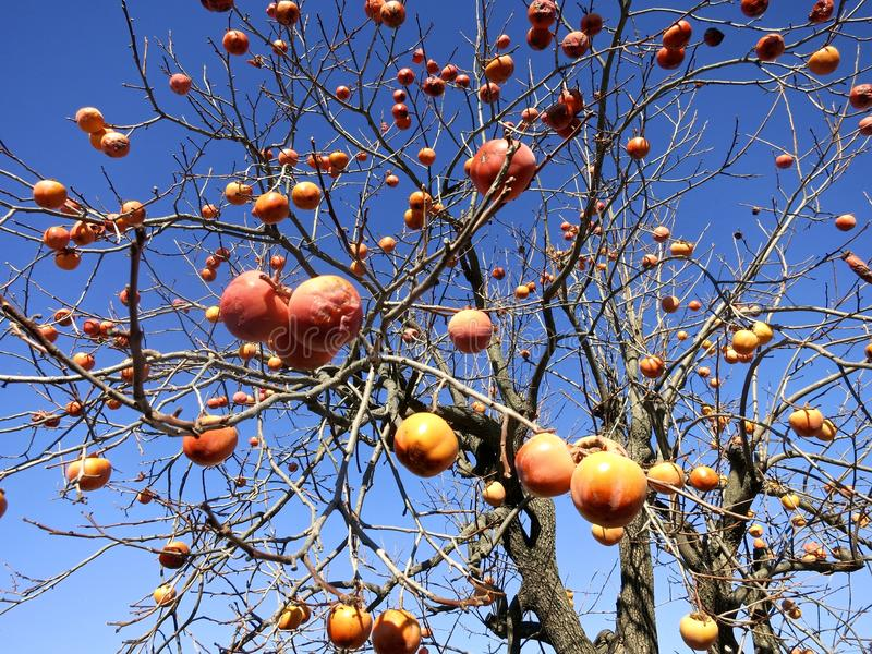 Artistic Image of Orange or Peachish Fruits on Tree -- The fruits just pop out at you, good for album cover, art, design stock photos