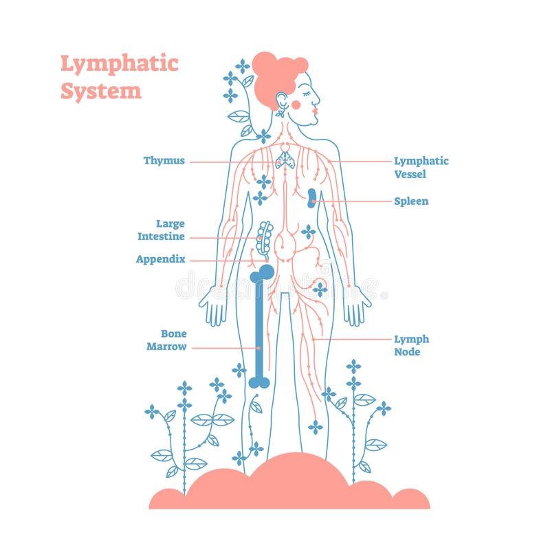 Artistic lymphatic system anatomical vector illustration diagram poster, decorative and elegant medical scheme with lymph nodes. Artistic lymphatic system vector illustration