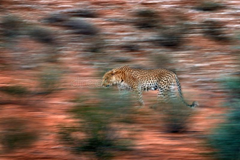Artistic photo of African leopard, Panthera pardus, expressing movement by camera panning techniques. Motion blur of wild leopard royalty free stock photo