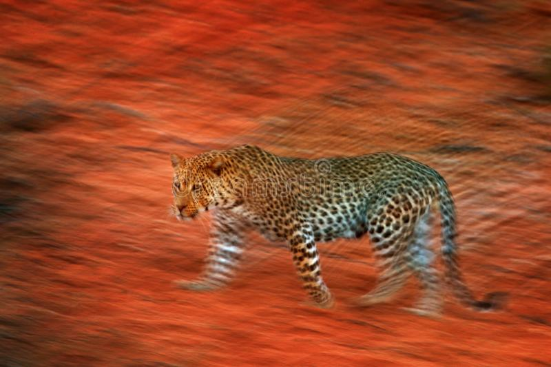 Artistic photo of African leopard, Panthera pardus, expressing movement by camera panning techniques. Motion blur of wild leopard. In Kgalagadi desert in royalty free stock image