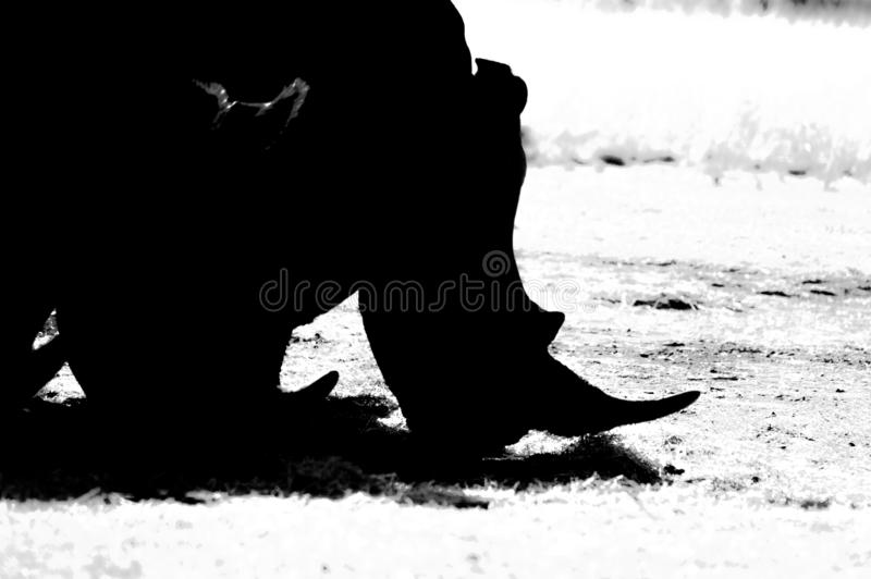 Artistic photo of a, endangered male bull white Rhinoceros in a game reserve in Johannesburg South Africa. Artistic photo of a, endangered male bull white royalty free stock image