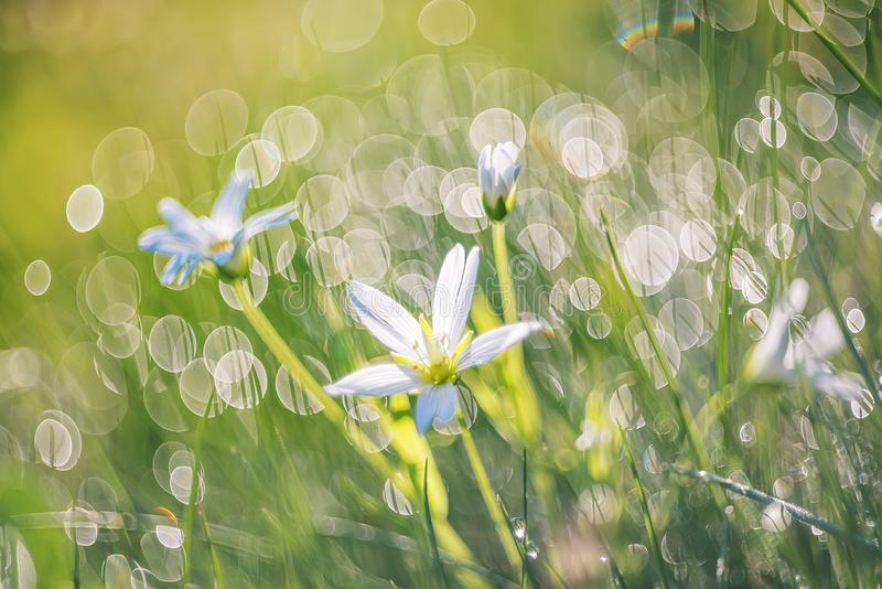 Artistic photo of a white flower on a meadow in the early morning in sparkling drops of dew. Very soft selective focus royalty free stock images