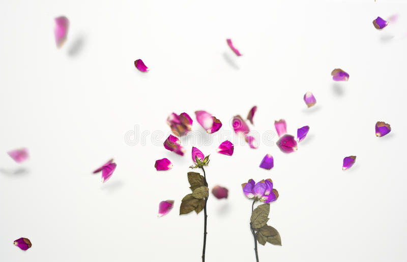 Download Artistic Picture Of Exploding Dried Rose Moving All Over Stock Photo - Image: 31780628